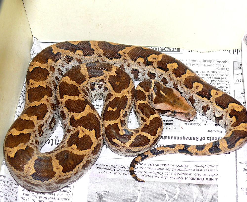 Snake.334182225