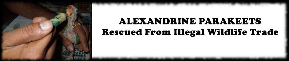 Alexandrine Parakeets