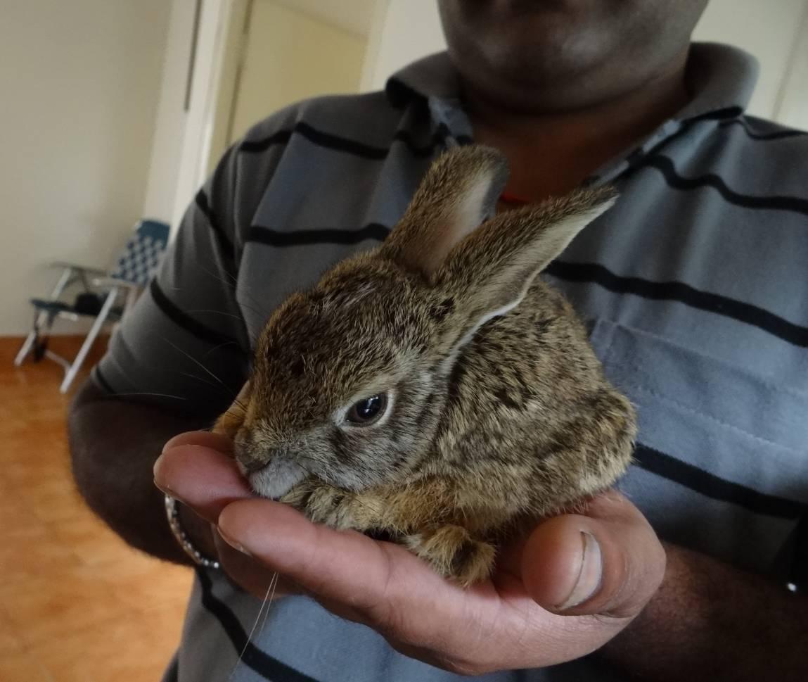 Black-naped hare 3